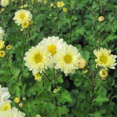 Chrysanthemum+indicum+Poesie+-+Chrysanthème+des+jardins