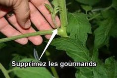 comment supprimer les gourmands Potager Garden, Herb Garden, Culture Tomate, Terrarium Plants, Best Location, Permaculture, Garden Planning, Horticulture, Ecology