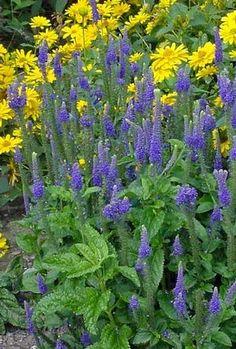 Sunny Border Blue' Veronica