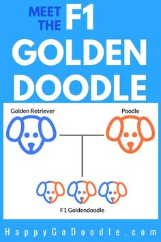 What is an F1 Goldendoodle? What does F1 mean? Get the 4-1-1 on F1 Goldendoodle and learn whether these adorable Doods are a perfect match for you. #goldendoodle #f1goldendoodle Red Goldendoodle, Labradoodle, You Doodle, Doodle Dog, Purebred Golden Retriever, Huge Teddy Bears, Poodle Mix Breeds, Dog Crossbreeds, Puppy Coats