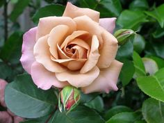 Julia's Rose - beautiful coffee colored rose tipped with mauve. Lovely older rare hybrid tea rose from 1976
