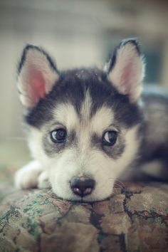 Normally I'm not a fan of non-floppy-eared and non-fat-lipped dogs, but this baby husky is pretty cute.