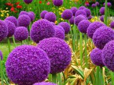 Succomberez-vous aux charmes de l'Allium giganteum 'Globemaster' !? Des bulbes sont disponibles dans notre jardinerie en ligne, découvrez nos offres : http://www.alsagarden.com/fr/106-bulbes-de-fleurs