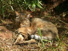 Wild cats list with pictures & facts. Information on all of the different types of wild cats: every species is included. Alphabetical list of wild cats. Small Wild Cats, Small Cat, Big Cats, Cool Cats, I Love Cats, Cats And Kittens, Cats Bus, African Wild Cat, Rhino Africa