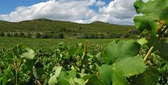 Languedoc : La faillite d'un négociant sème l'inquiétude chez les vignerons