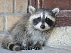 I've Found a Baby Raccoon; from I've Found a Baby Series on Aspiring Wild