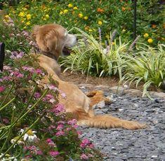 Uberlegen Schönen Hinterhof Garten Mit Hunden   Formschnitt   Gehölze Wie Efeu,  Stechpalmen, Lorbeer