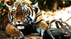 Battling India's Illegal Tiger Trade | The Rainforest Site Blog