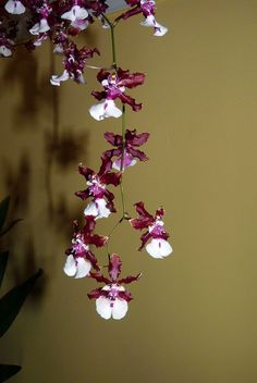"""Oncidium Orchids 