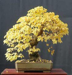 Walter Pall Bonsai Adventures: linden #bonsai