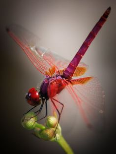 **red dragonfly they lay eggs in our ponds and we get heligomights.
