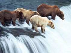 Brown Bears Waterfall Wallpaper | Animals Desktops and Stock Photos