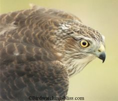 The Sharp-shinned Hawk is a small Accipiter (about the same size as an American Robin) that breeds in North America and Winters from North America and South into Central America.