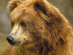 Kodiak Brown Bear | Brown Kodiak Brown Bear