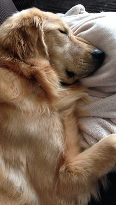 when you want to lay down for just a minute and hour later can't get up - golden retriever - teddy