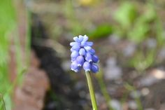 This Week in my Garden, The Bluebells are stand up tall and looking very Pretty!