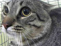 TO BE DESTROYED 5/16/14Manhattan CenterMy name is LOLAN. My Animal ID # is A0999094.I am a female gray tabby domestic sh mix. The shelter thinks I am about 3 YEARS old.I came in the shelter as a OWNER SUR on 05/07/2014 from NY 11223, owner surrender reason stated was ATT PEOPLE. MOST RECENT MEDICAL INFORMATION AND WEIGHT05/14/2014 Exam Type OBSERVATION - Medical Rating is 1 - NORMAL , Behavior Rating is NH ONLY, Weight 10.0 LBS.new wt 10lb05/07/2014 PET PROFILE MEMOno profile.WEB MEMONo Web…