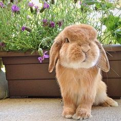 I want a cute lil one like this, I think it's a holland lop Bunny Art, Cute Bunny, Cute Baby Animals, Animals And Pets, Beautiful Creatures, Animals Beautiful, Happy Sunday Friends, Bunny Tattoos, Baby Bunnies