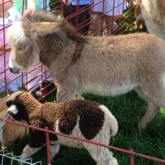 Mini donkey so cute! Easter petting zoo at Cherokee Town & Country Club's Easter Egg Hunt festivities