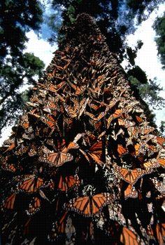 The Oyamel Forest du