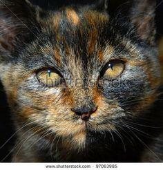 Photograph Of Cat Browm Kitten Cat Face - http://www.petandanimals.com/photograph-of-cat-browm-kitten-cat-face/