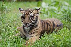 Tiger Cub | Flickr - Photo Sharing!