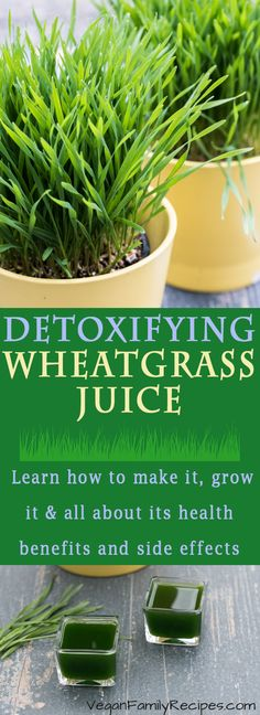 Learn all about how to make your own Wheatgrass juice and shots at home! PLUS how to grow wheatgrass, the health benefits and side effects. Learn about this detox superfood that you need to be incorporating into your healthy lifestyle! /// VeganFamilyRecipes.com /// #recipe