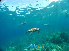 Sea Turtle at Olowalu