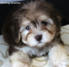 The World& Most Beautiful Havanese Puppies ♥ www.havahughavane& The World& Most Beautiful Havanese Puppies ♥ www.havahughavane& Source by jmombo The post The World& Most Beautiful Havanese Puppies ♥ www.havahughavane& appeared first on Jim Norman Dogs. Free Puppies For Sale, Puppies Near Me, Havanese Puppies For Sale, Teacup Puppies For Sale, Aussie Puppies, Havanese Dogs, Yorkie Puppy, Rottweiler Puppies, Cute Puppies