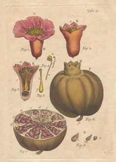 John Miller Botanical Studies 1779
