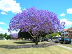 Jacaranda time again in Queensland!