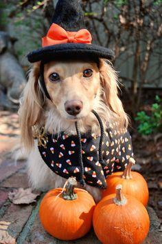 Halloweenie - little Dachshund witch