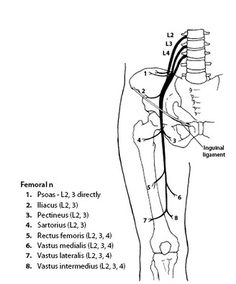 femoral nerve | anatomy | pinterest | femoral nerve, Muscles