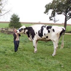 World's tallest cow, 6-foot-4, has died in Illinois