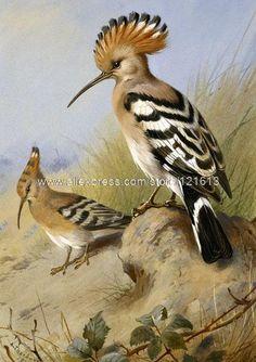 Archibald Thorburn Hoopoes Crested Bird Standing Alert On Rock