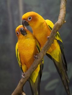 Pair of Golden Conure parrots