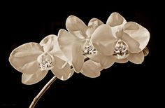 Orchid Flowers In Sepia Print by Jennie Marie Schell.  All prints are professionally printed, packaged, and shipped within 3 - 4 business days. Choose from multiple sizes and hundreds of frame and mat options.