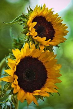 Sunflower 2 by RalfPfaar Sunflower Garden, Sunflower Art, Sunflower Fields, Amazing Flowers, Beautiful Flowers, Happy Flowers, Sun Flowers, Sunflower Photography, Sunflower Pictures
