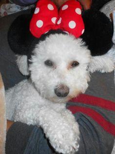 Sweet Minnie Mouse Bichon! What a cute Halloween idea :)