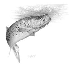 Brown trout rising (picture) - - Global FlyFisher