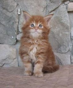 Maine coon kittens in charlotte nc