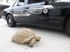 clark the tortoise in front of police car photo