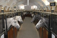 There are currently 72 stallions at The Spanish Riding School in Vienna, who all live in close proximity thanks to their good nature and quiet temperament