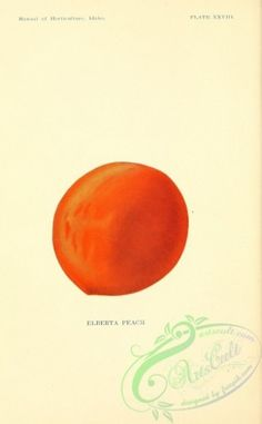 fruits-03508 - Elberta Peach [2092x3377] domain art Victorian ArtsCult ArtsCult.com Artscult download naturalist masterpiece 1900s lithographs qulity blooming free pack use printable commercial collage 1700s Pictorial transfer Paper 1800s vintage royalty paintings scrapbooking 18th fabric instant decoration public picture ornaments natural scan Edwardian clipart botany flower floral 17th craft 300 dpi Graphic plants old beautiful wall flowers digital century  botanical illustration pages…