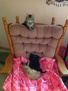 Mimi, Sammy, & Dolly...play date with Julie's kitty from the same,litter