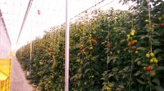 Habanero plants of Westlandpeppers Behind The Scenes, Plants, Plant, Planting, Planets