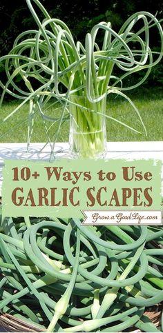 ... Garlic Scape Dressing ~ Shrimp and Garlic Scampi ~ Pesto Cheesy