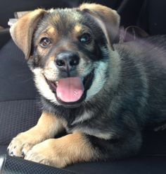 My new puppy. German Shepard/Blue Heeler mix. #puppy