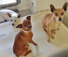 This trio of beautiful ladies will just tell you with their eyes how badly they want to go home. Please take a look at them and SHARE, a FOSTER would save their sweet lives. Thanks!  #A4805093 I'm an approximately 1 year old female chihuahua #A4805103 I'm an approximately 5 year old female chihuahua #A4805100 I'm an approximately 6 year old female min pinscher https://www.facebook.com/171850219654287/photos/pb.171850219654287.-2207520000.1425500360./378573498981957/?type=3&theater