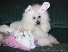 Easter Bunny Poodle, Song  2012